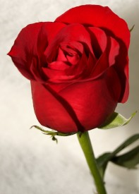 E-Plant Red Rose Artificial Flower