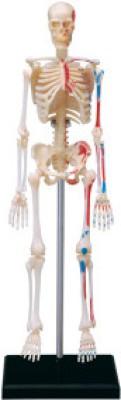 4D Master Learning & Educational Toys 4D Master Human Skeleton Model