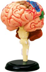 4D Master Learning & Educational Toys 4D Master Human Brain Anatomy Model