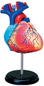 4D Master Learning & Educational Toys 4D Master Human Heart Anatomy Model