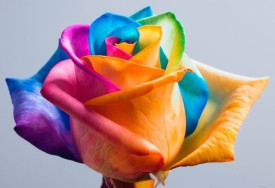 Nooelec India Rainbow Rose Imported Flower Seed