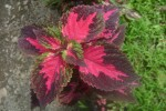 Saaheli Flower Coleus Blumei 06
