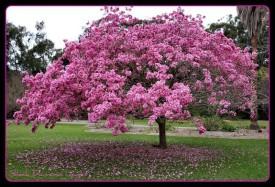 SeedFactory Tabebuia Avellanedae - Pink Trumpet Tree Seed