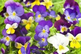 Omaxe Pansy Small Viola Johny Jump Up, 3pkts*50 Seeds Seed