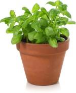 Omaxe Basil Italian broad leaf 100seeds*3pkts