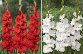 Easy Gardening Gladiolus Red , White Mix Bulbs Seed