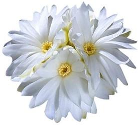 Futaba Succulent Echinopsis tubiflora cactus Flower Seed