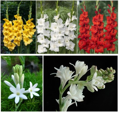 Easy Gardening Gladiolus Mix, Rajanigandha Mix Bulbs Seed