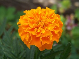 E-Plant Marigold summer 2 Seed