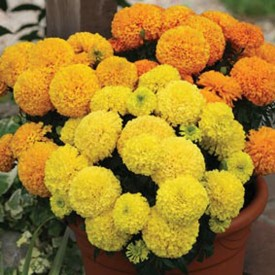 Nooelec India Marigold African Mix Flower Imported Seed