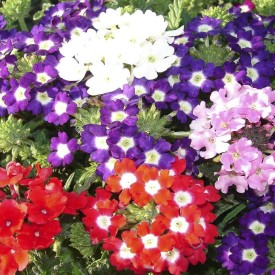 Biocarve Verbena Ideal Florist Mix Seed