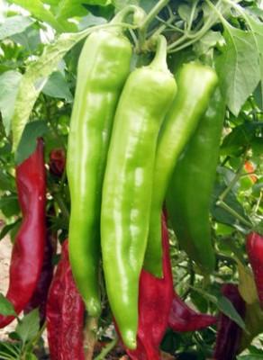 Omaxe Pepper Achari Hybrid Corno di torro 50seeds*4pkts