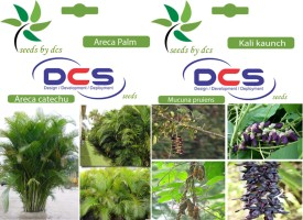 DCS Areca Palm and Kali Kaunch (2 Packets of Seeds) Seed