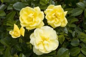 Imago Ims010 Yellow Rose Seed