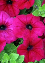Real Seed Petunia Pink Hybrid Imported Flower